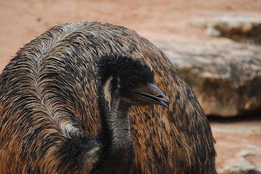 Emu, Brown, Bird, Animal, Beak, Nature, Feather, Eye