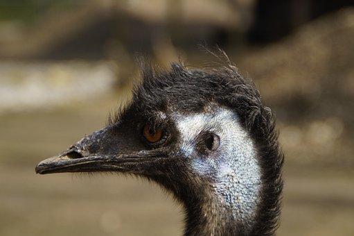 Emu, Head, Portrait, Face, Flightless Bird, Australia