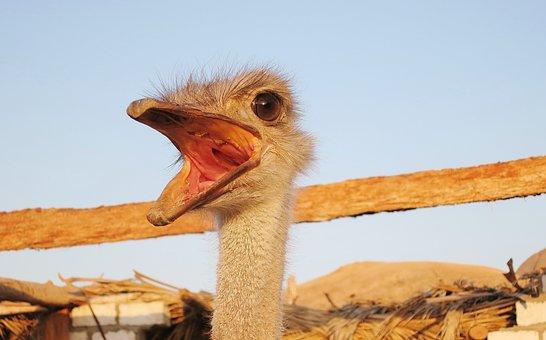Emu, Flightless Bird, Face, Bill, Eye, Neck