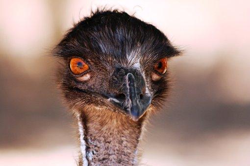 Emu, Head, Australia, Eyes, Stare, Bird
