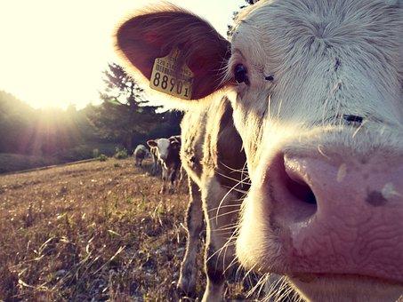 Cow, Farm, Village, Cattle, Farm Animals, Agriculture