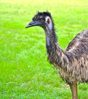 Ostrich, Emu, Fauna, Australia