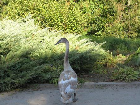 Swan, The Ugly Duckling, Bird, Feathered, Park, Nature