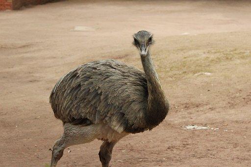Animal, Bird, Zoo, Emu, The Ostrich, Gray, Feathers