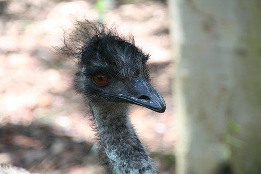 Emu, Bird, Wildlife, Flightless, Australia, Head, Eye