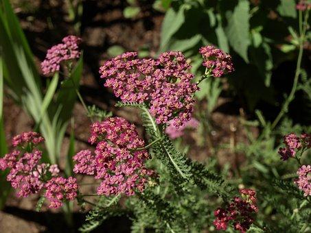 Yarrow, Achillea Millefolium, Milfoil, Flower, Flowers