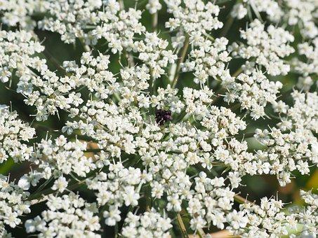 Wild Carrot, Flower Umbel, Blossom, Bloom, Pink, White