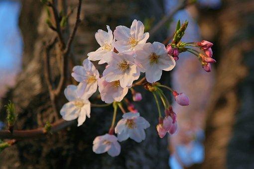 Yoshino Cherry Tree, Cherry Blossoms, Flowers, Pink