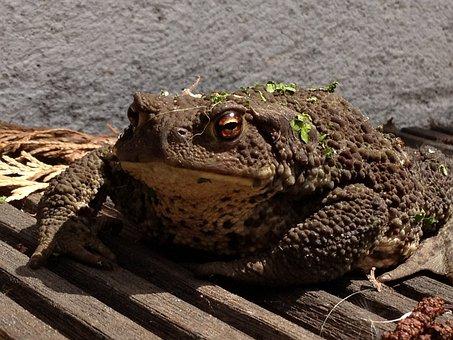 Toad, Frog, Amphibian, Brown, Animal, Nature, Wildlife