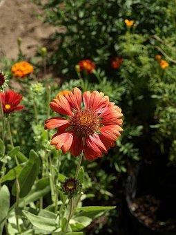 Gailardia Bristlecone, Gaillardia Aristata, Flower
