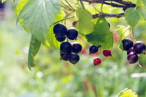 Black Currant, Currant, Natural, Healthy, Food, Garden