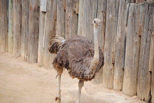 Ostrich, Giant Bird, Bird, Giant, Big, Animal, Neck