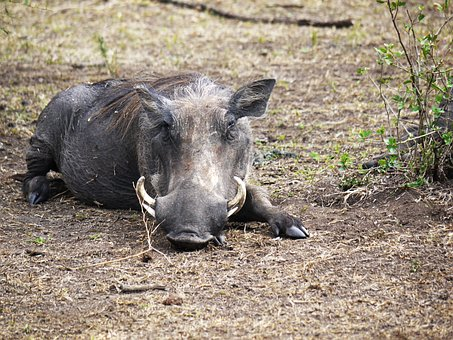 Warthog, Savannah, Hauer, Uganda, Ugly, Doze, Rest