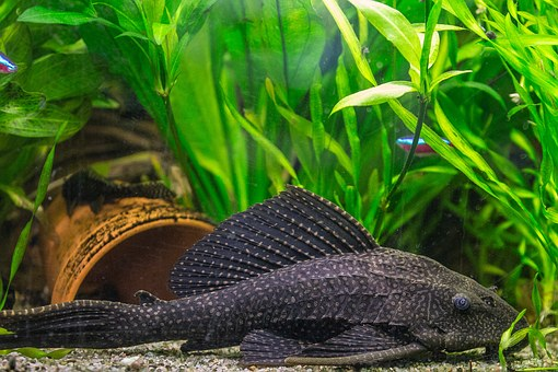 Fish, Aquarium, Wels, Honeycomb Signs Catfish, Pet