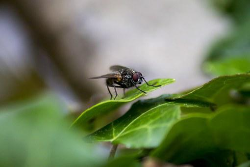 Fly, Bug, Wings, Animal, Insects, Nature, Macro, Hairy