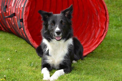 Dog, Border Collie, Sorry, Landscape, Mobility, Grass