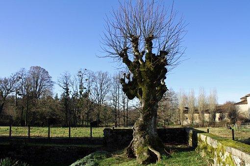 Winter Tree, Leafless Tree, Gnarled Tree, Ancient Tree