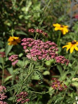 Yarrow, Achillea Millefolium, Milfoil, Flower
