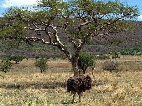 Emu Bird, Mpumalanga, South Africa