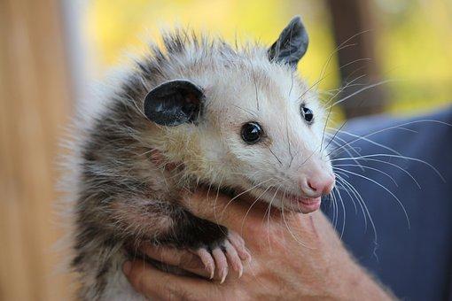 Possum, Rodent, Opossum, Animal, Mammal, Wildlife