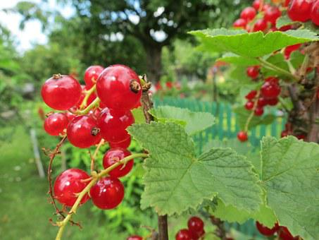 Currant, Fruit, Red, Garden, The Plot, Plant, Bush