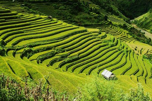 Rice Terraces, Rice Fields, Mu Cang Chai, Yen Bai