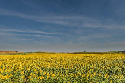 Sunflowers, Flowers, Summer, Sunflower, Yellow, Flower