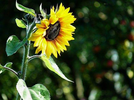 Sun Flower, Sunflower Seeds, Sunflower Oil, Sunflower