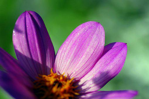 Zinnia, Flower, The Petals, Violet, Zinnia Daliowa