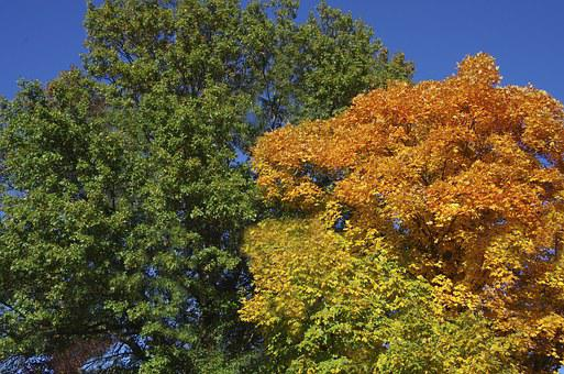 Trees, Fall Colors, Autumn, Upper Branches, Coma