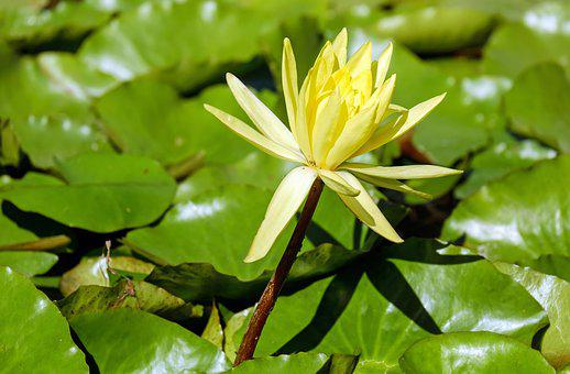 Water Lily, Nuphar Lutea, Blossom, Bloom, Flowers