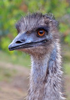 Emu, Australia, Western Australia