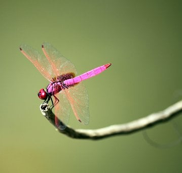 Dragonfly, Insect, Wing, Fly, Bug, Wild, Fragility