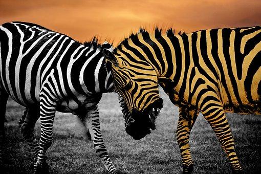 Safari, Zebra, Animal, Black, Wildlife, Wild, Africa