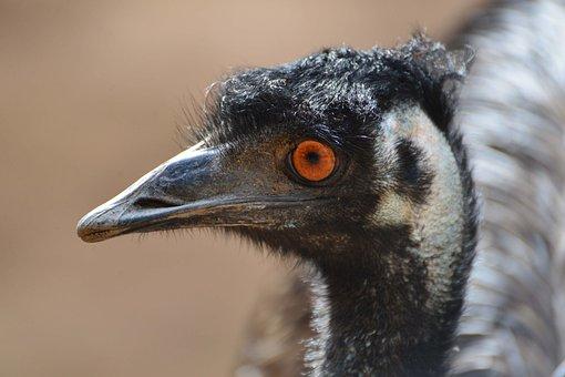 Emu, Australia, Bird, Wings, Feather, Wildlife, Beak