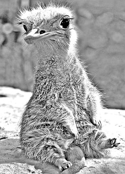Wolperdinger, Animal, Photo Montage, Meerkat, Emu