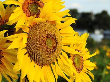Flower, Sun Flower, Yellow, Nature, Blossom, Bloom