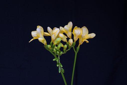 Flowers, Yellow Flowers, Freesia, Yellow Freesia