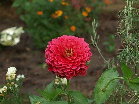 Zinnia Daliowa, Zinnia Elegans, Zinnia, Flower