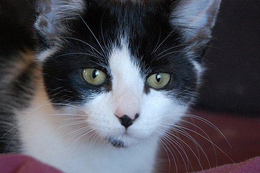 Cat, Feline, Kitty, Adorable, Cute, Animal, Pet