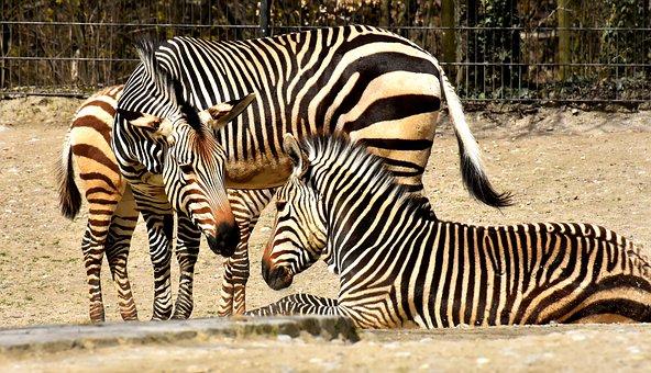Zebras, Wild Animal, Zoo, Africa, Animal