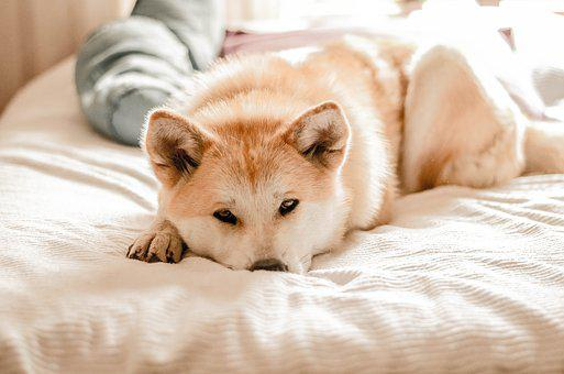 Dog, Akitainu, Pet, Profile Dog, Animals, Animal