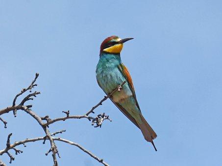 Bee-eater, Abellerol, Bird, Merops Apiaster, Branch