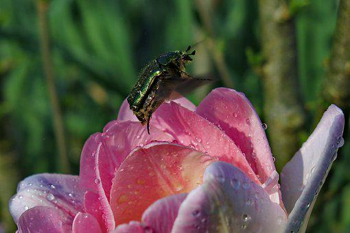 Rose Beetle, Fly, Nature, Beetle, Insect