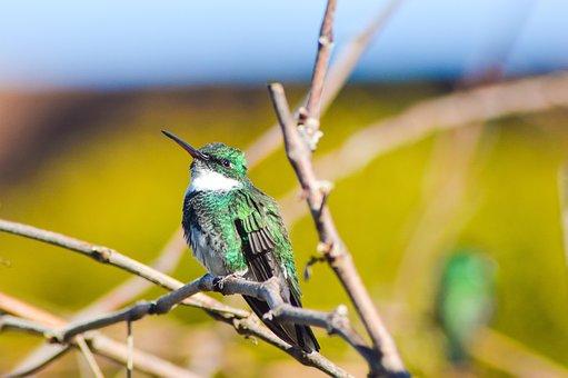 Spring, Birds, Tropical Bird, Beija Flor, Animals