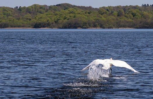 Swan, Bird, National Bird, Denmark, Lake, White