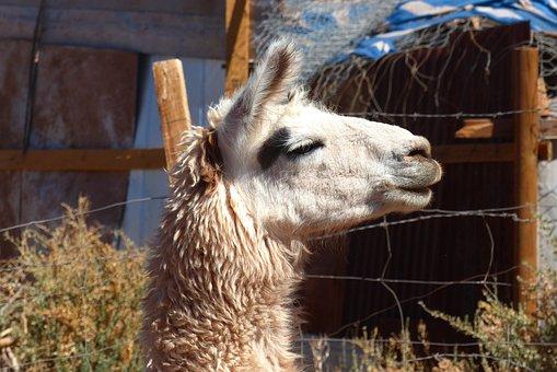 Lama, Animal, Peru, Chile, Bolivia, Wool, Meat