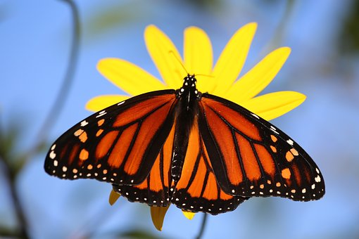 Monarch, Butterfly, Orange, Black, Flower, Pollinator