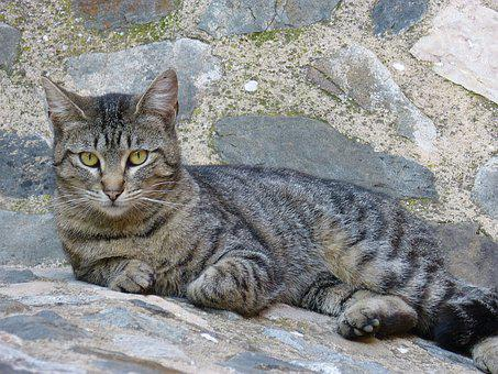 Cat, Feline, Gata, Brindle, Resting, Cat Home