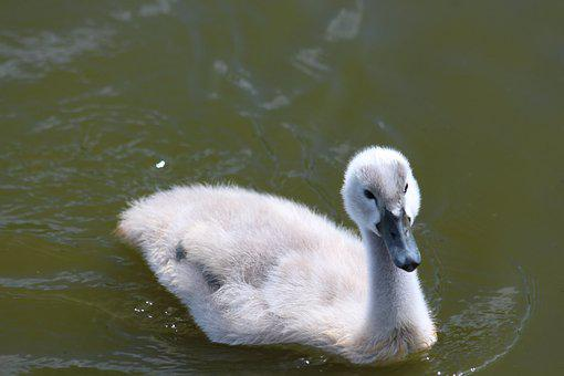 Chick, Young, Swan, Furry, Grey, Water, Body Of Water